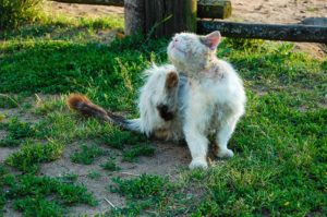 How to Apply Revolution Flea Treatment for Cats